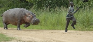 бегемот нападает на человека