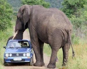 слон раздавил машину
