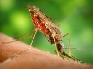 малярийный комар пьёт кровь