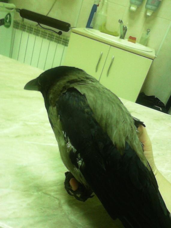 последнее фото ворона